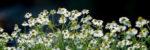 biodynamic chamomile hydrolate